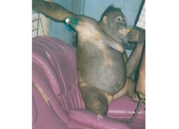 Warga Jadikan Orangutan PSK Setelah Dicukur Bulunya, Pelanggannya Pekerja Sawit