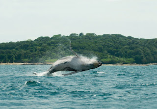 Wieloryby w Panamie