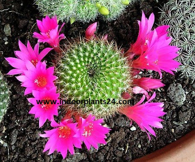 Red Crown Cactus (Rebutia minuscula) plant