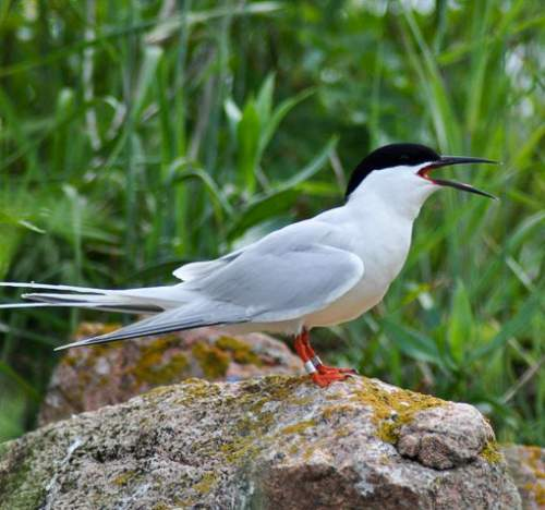 Birds of India - Photo of Roseate tern summer - Sterna dougallii