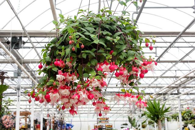 tanaman hias gantung tahan panas