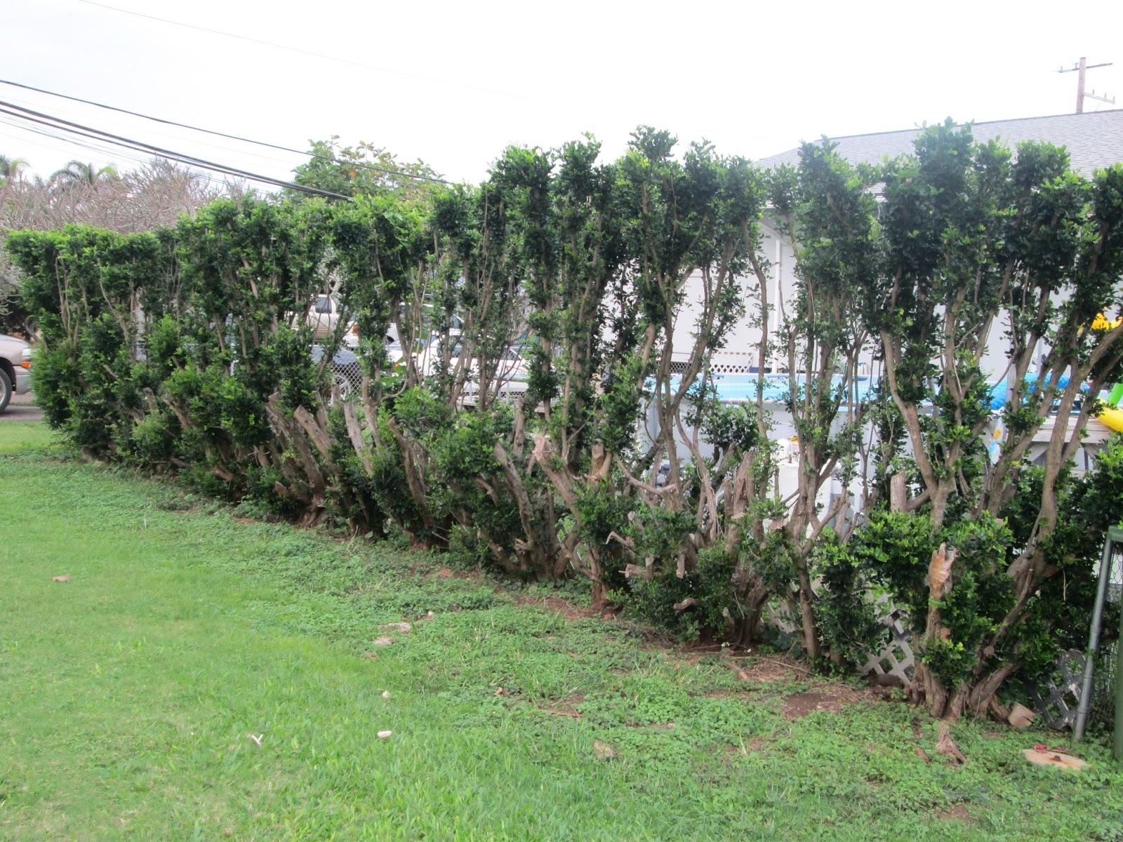 how to grow a mock orange hedge