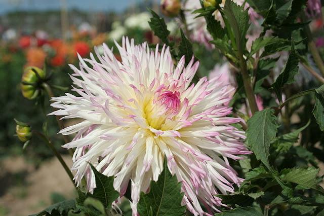 white tinged pink cactus dahlia