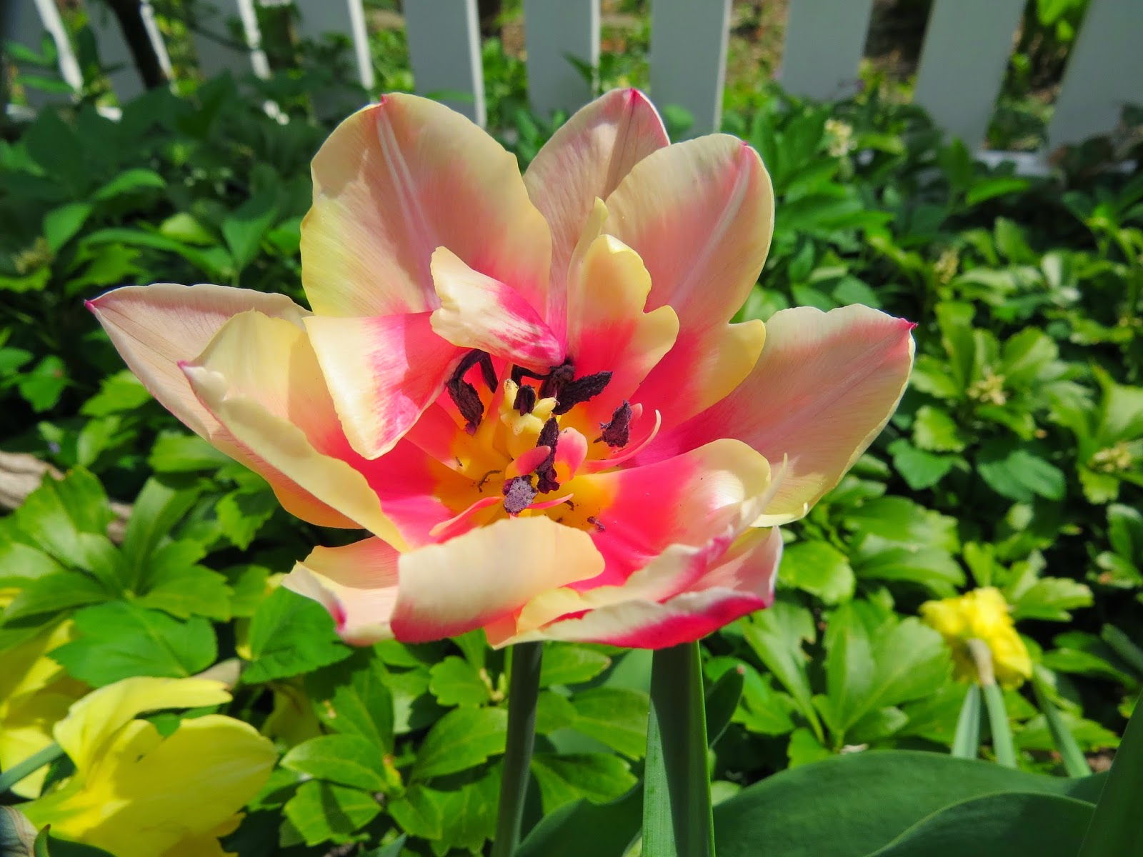 A-Very-Awesome-Tulip