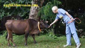 Sığırların Fiziksel Özellikleri