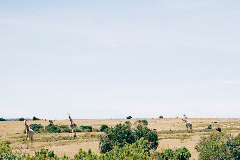 south africa | wild giraffes
