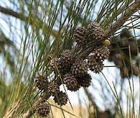casuarina-especie-invasora-manati