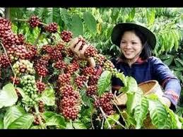 penyubur tanaman kopi, penyubur pohon kopi