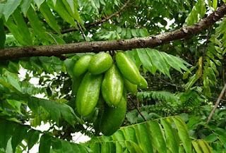 belimbing-sayur,www.healthnote25.com