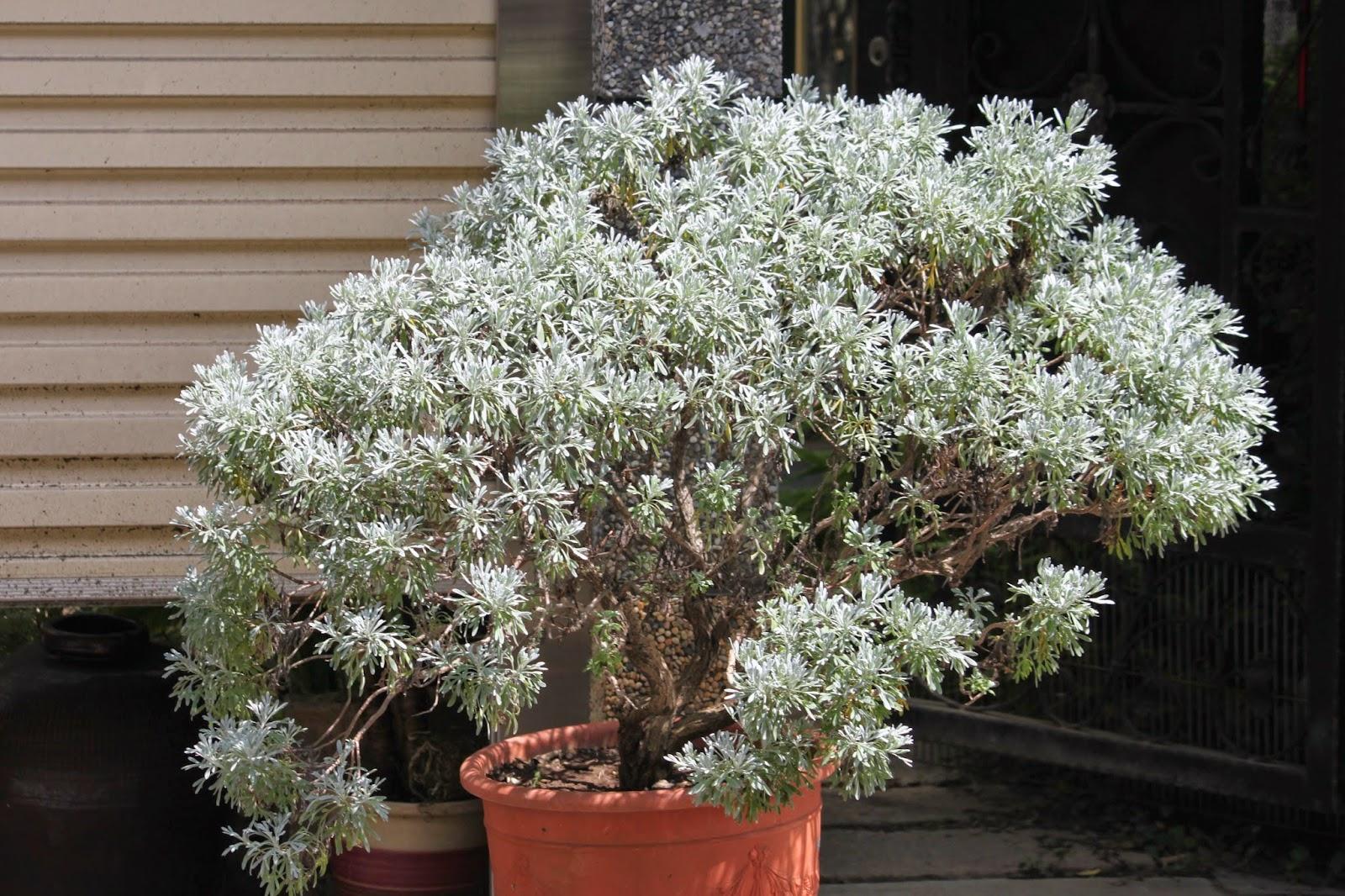 Snow的綠色世界: 來種避邪植物~臺灣芙蓉&日本芙蓉