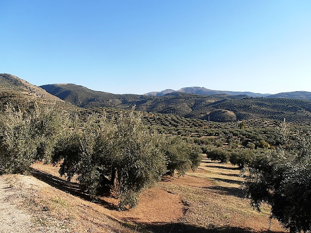 Olive Groves, Sierra Sur de Jaen, Andalusia, Spain