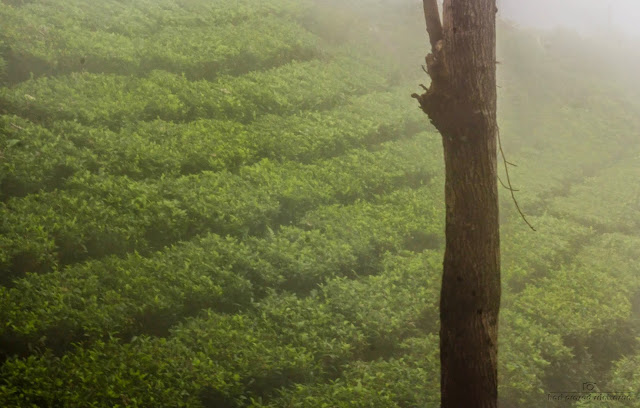 Image of a tea plantation with mist setting in with a tree in the composition
