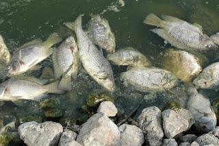 kematian pada budidaya ikan nila
