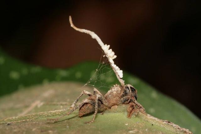 Se trata de un hongo lo que afecta a las hormigas