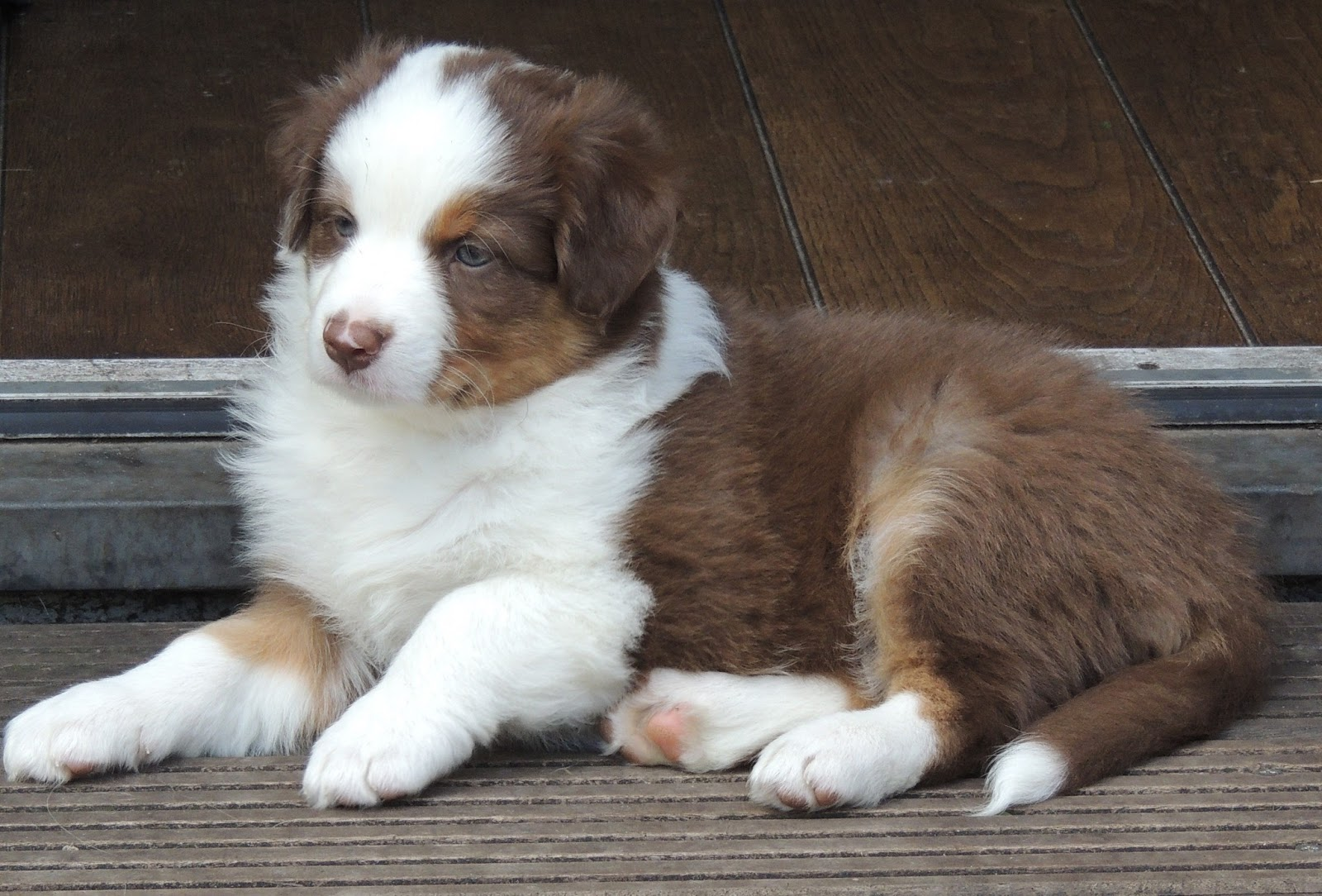 Australian Shepherd Puppies Red Tri