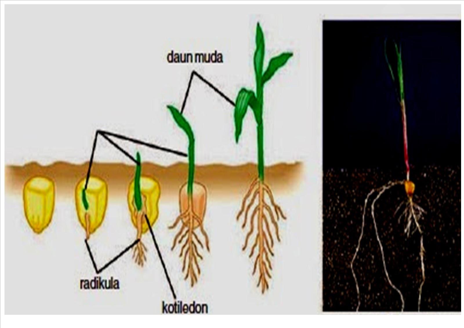 Tumbuhan Monokotil dan Dikotil Disertai Penjelasannya ...