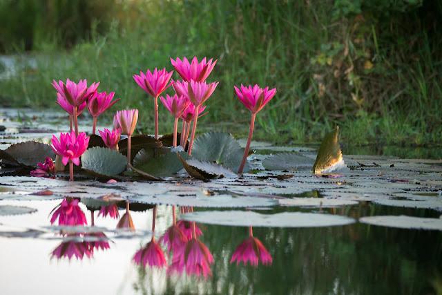 شاهد سحر بحيرة اللوتس الأحمر في تايلند I-visited-the-red-lotus-sea-in-Thailand-57b3168a556bb__880