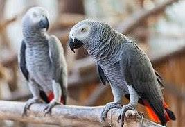 Kisaran Daftar Harga Burung African Grey Terbaru Saat Ini 2018 Paling Lengkap