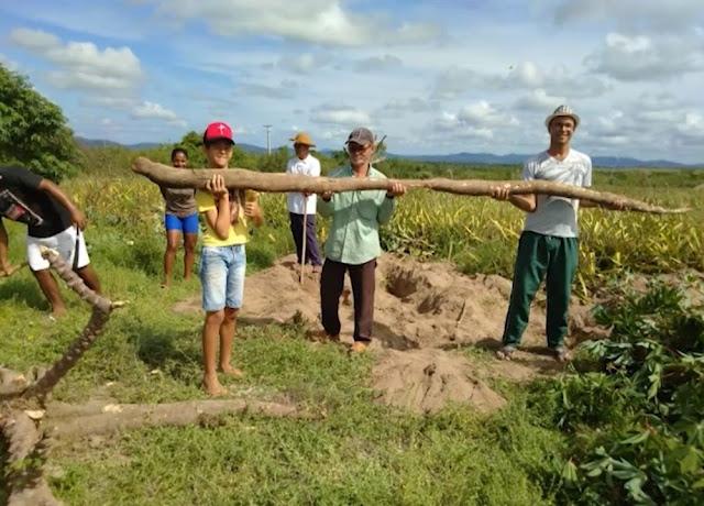 Agricultores da BA colhem mandioca 'gigante' de 5 metros de comprimento e cerca de 20 kg