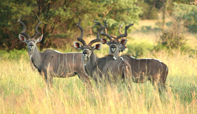 Do you know Kudu? See facts and information 3