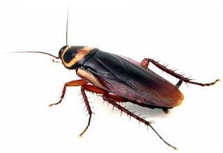 Cockroach baghaane ke gharelu nuskhe aur upay. Home Remedies for Cockroach in Hindi/Urdu.