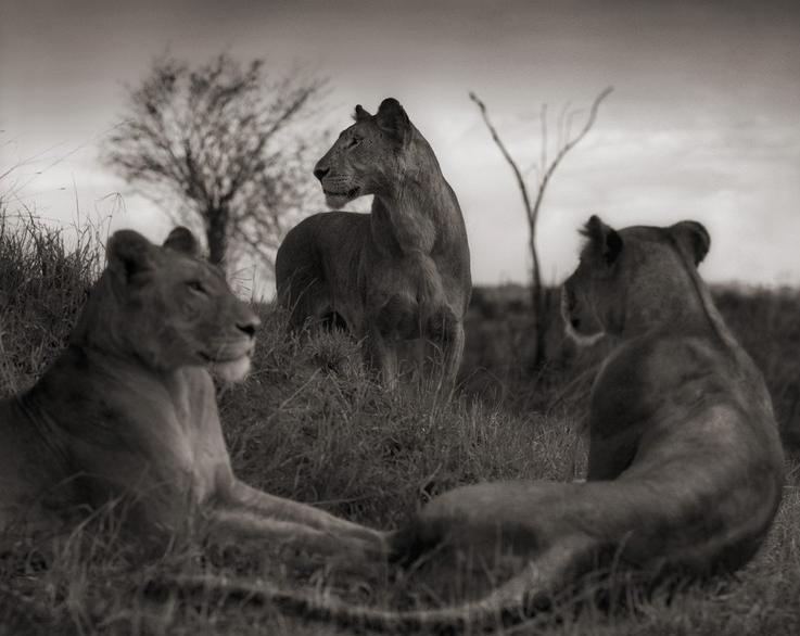 Nick Brandt - Photography - lions