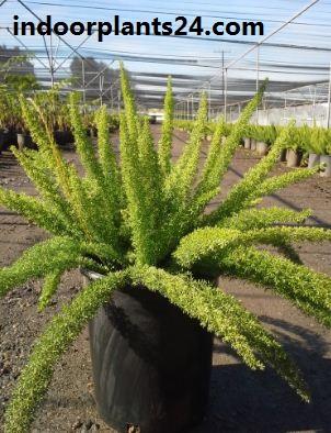 Asparagus densiflorus indoor plant