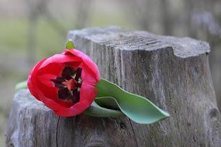 setangkai bunga tulip
