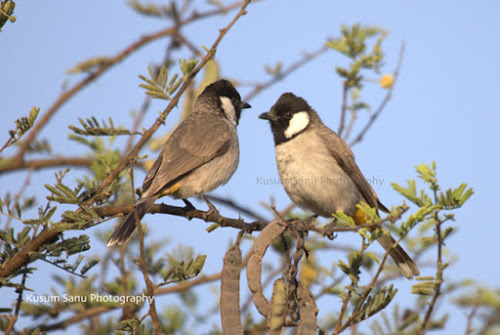 White cheeked Bulbuls at Khijdia Bird Sanctuary Gujarat India