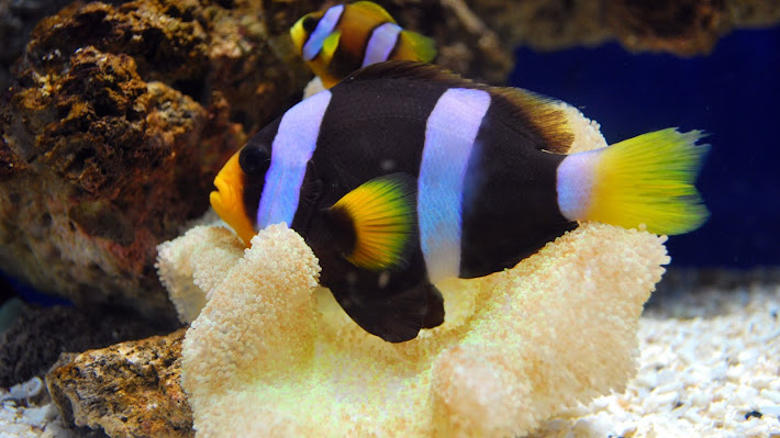 Wallpaper: Beautiful yellow and black clown fishes