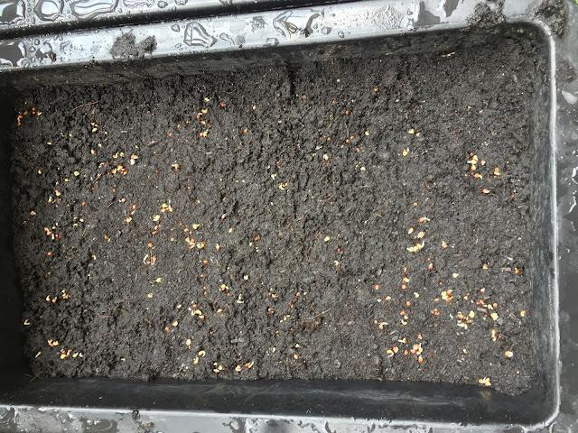 Gieo hạt vào khay trồng, phủ lên 1 lớp đất mỏng