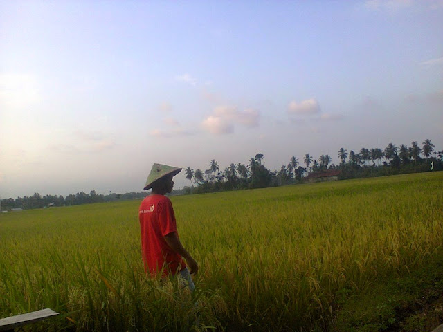 Petani Penggarap Sawah Gampong Cot Baroh Panen Padi Masa Tanam 2015 - 2016