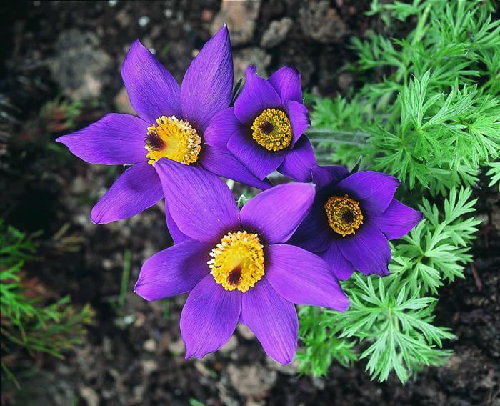 Pulsatilla full bloom