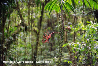 Matapalo forest costa rica corcovado