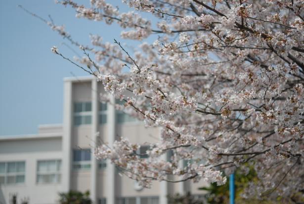 「4月 学校 イメージ 桜」の画像検索結果