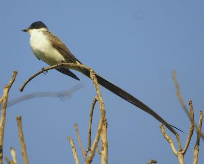 pampas flycatcher