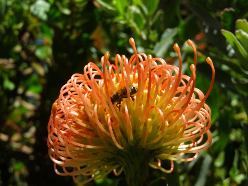 Bee on protea