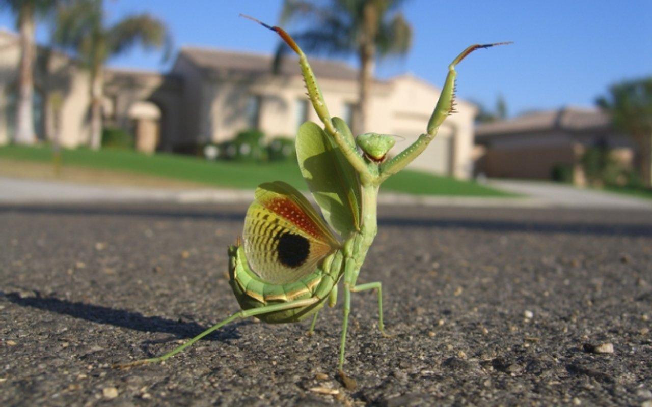 Praying Mantis Wallpapers | Fun Animals Wiki, Videos, Pictures, Stories