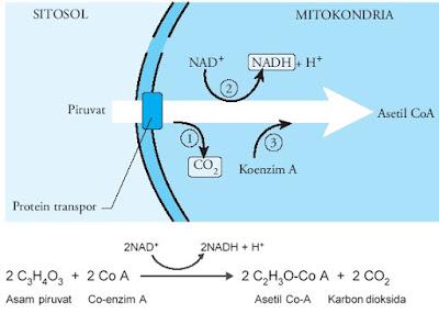reaksi dekarboksilasi oksidatif dan reaksinya