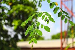 Manfaat daun kelor untuk pengobatan kanker