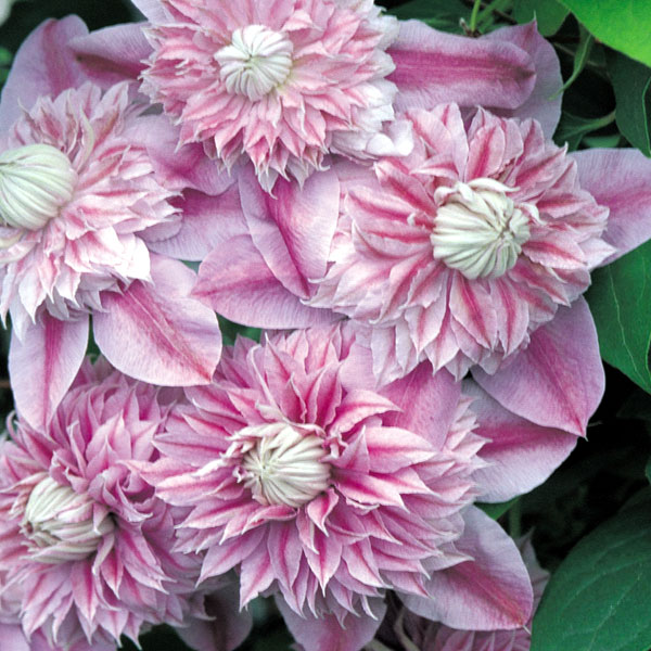 Clematis Blossoms For All to Enjoy  Fleurings