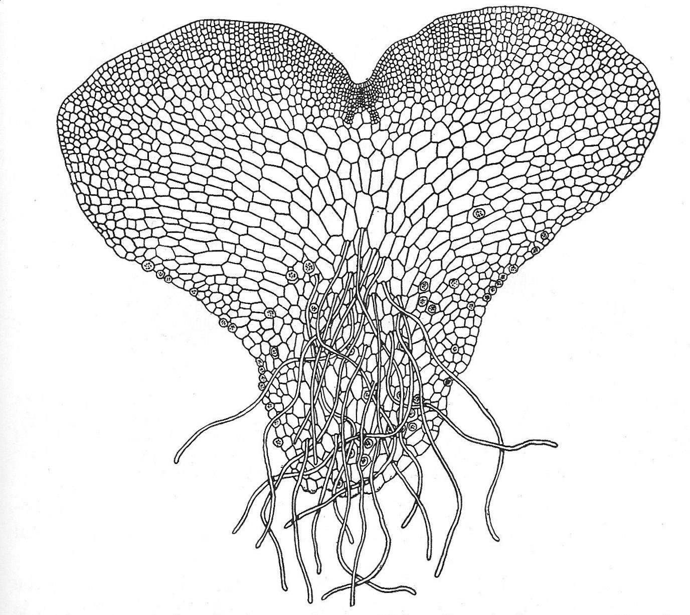Fern Plant Diagram