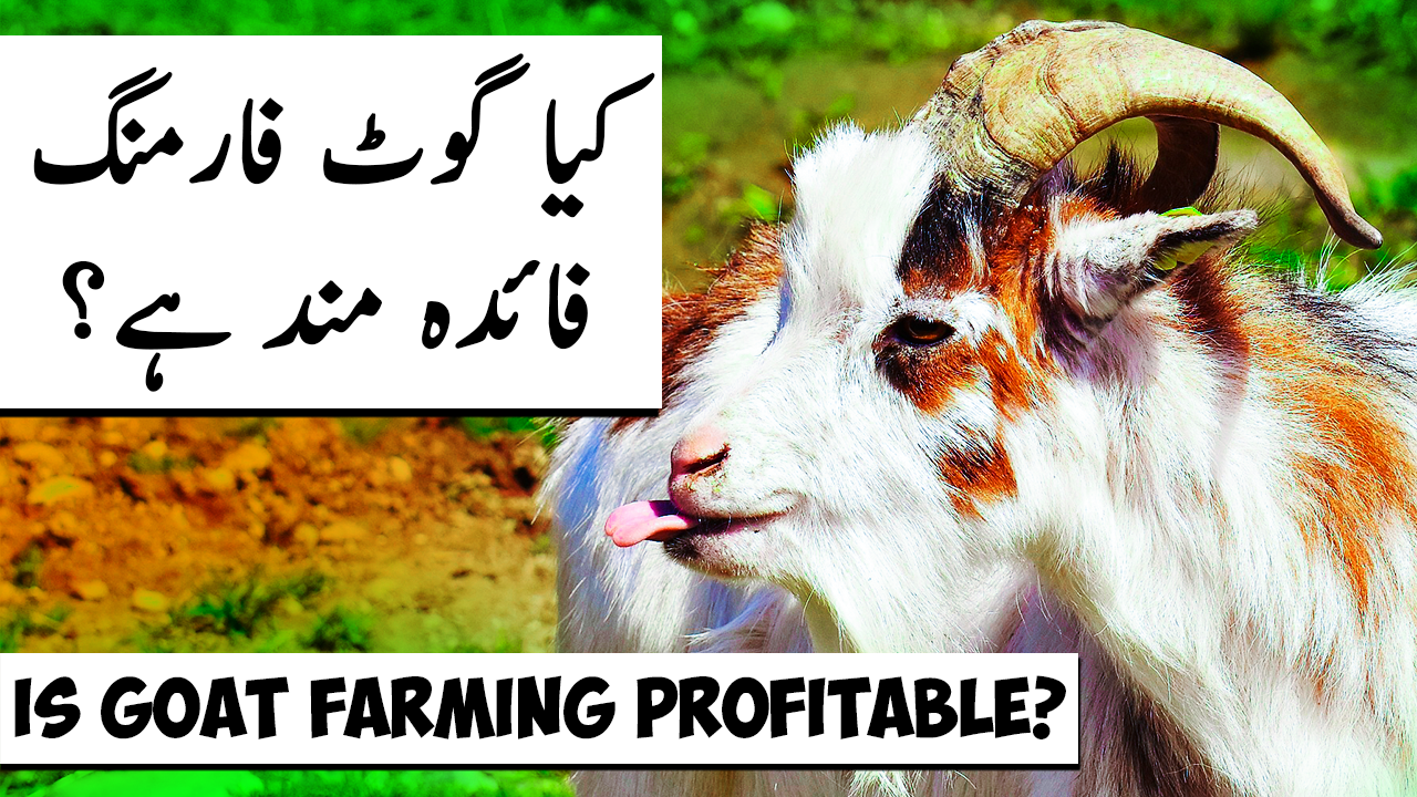 گوٹ فارمنگ کے فوائد Is Goat Farming PROFITABLE in Pakistan? Success