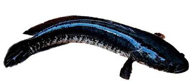 ikan shanna striata