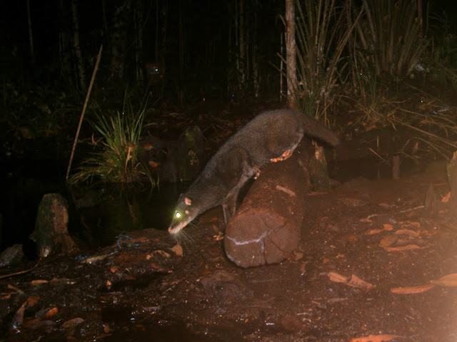 Roadmap for better protection of Borneo's cats and small carnivores