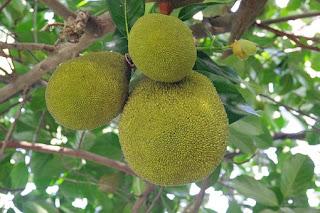 breadfruit-www.healthnote25.com