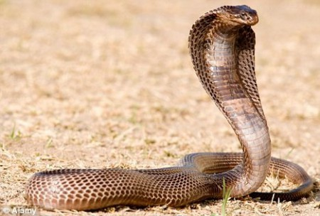 Hasil gambar untuk gambar ular kobra