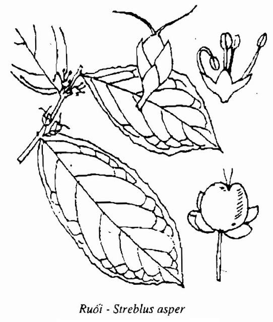 Hình vẽ Ruối - Streblus asper - Nguyên liệu làm thuốc Chữa bệnh Mắt Tai Răng Họng