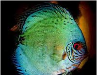 Sejarah Ikan Hias Discus discus putih