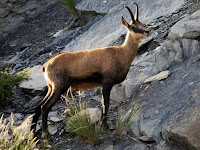 Chamois Animal Pictures